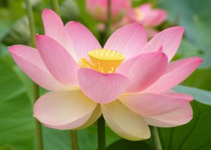 Nelumno-nucifera-flor-de-loto-1