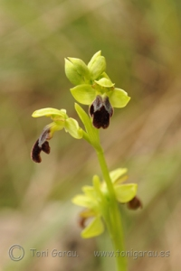 Ophrys2