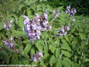 phoca_thumb_l_salvia_officinalis_4