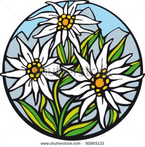 stock-vector-edelweiss-there-are-delicate-edelweiss-in-the-mountains-90865133