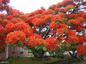 trees-the-flamboyant-tree-is-endemic-to-madagascar-but-it-grows-in-tropical-areas-around-the-world-image-credits-salete-t-silva