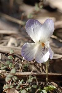 Viola Jaubertiana de color blanc trobada al principi de la pujada desde sa planicia de Son Massip fin a Massanella. Corresp. RAW NIK_0148
