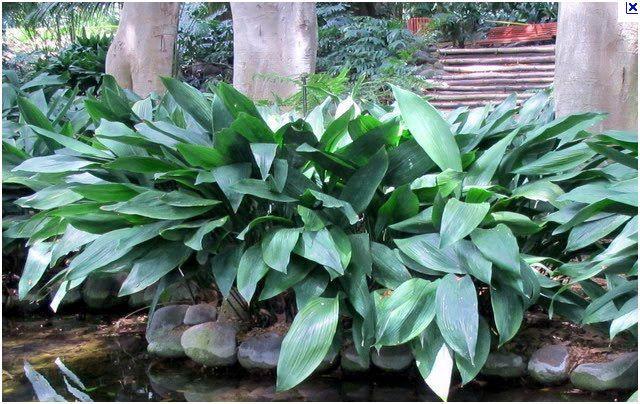 Aspidistra creciendoentreflores - Plantas de sombra exterior ...