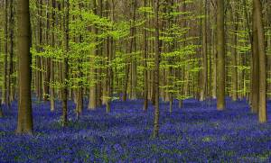 bluebells-blooming-hallerbos-forest-belgium-5