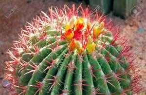 cactus marruecos