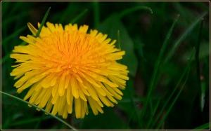 flores_comestibles_08