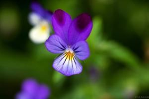 flores_comestibles_15