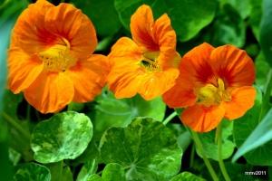 flores_comestibles_21