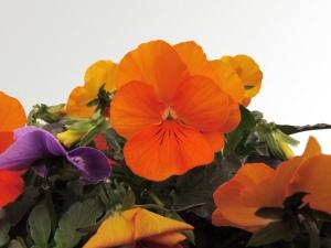 flores_comestibles_22