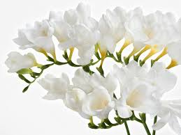 freesia blanca