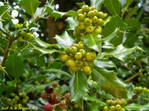 Hojas y frutos del acebo Ilex aquifolium en Las Quilamas Salamanca