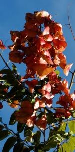 Koelreuteria bipinnata
