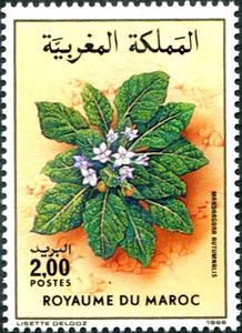 Mandragora-autumnalis