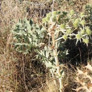 micecardo-micelio-de-seta-de-cardo-pleurotus-eryngii-5-litros___3078699