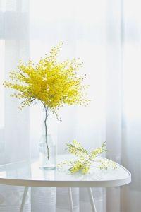 mimosa florero