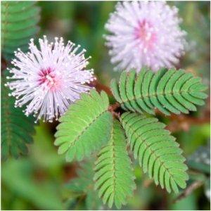 mimosa rosa