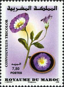 Moroccan-Flora---Convolvulus-tricolor