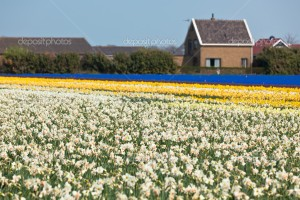 Multicolored narcissus field in Holland. Horizontal shot