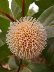 nauclea_latifolia
