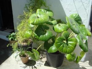 planta abuelo Alfonso