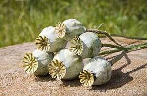 semilla-de-amapola-3001858