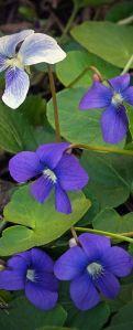 violetas alargadas