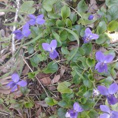 ada violetas