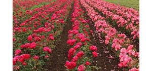 bulgarian-rose-valley-kazanlak-bulgaria+12821539011-tpfil02aw-4755