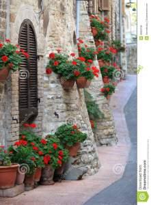 el-geranio-florece-en-las-calles-de-assisi-umbría-26826192