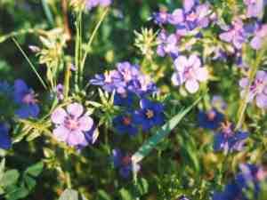 floresazules