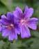 geraniaceae Geranium x magnificum G. Ibericum x G. Platipetalum