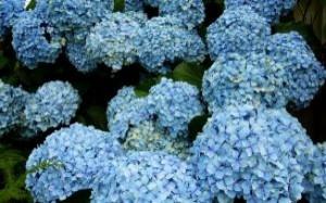 hortensias-azules_2866473