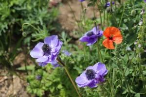 Jardin lirios y rosas Benissa (13)