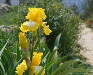lirio-amarillo
