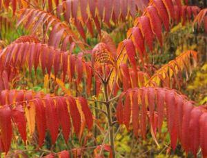 ornamental_shrub_tree_tiger_eyes_sumac_staghorn_sumac_velvet_sumac_41_104
