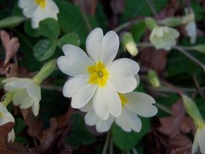 Primula acaulis Cantabria