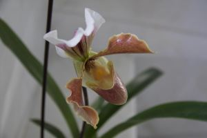 susana orquídea