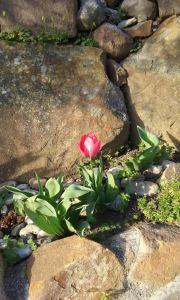 viaje tulipan
