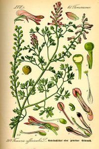 247px-Illustration_Fumaria_officinalis0