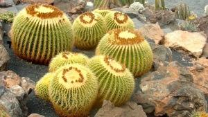 cactus-asiento-de-suegra-1