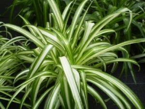 chlorophytum comosum (own)2