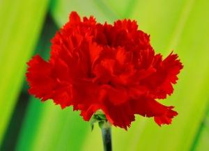 El clavel es una planta herbácea perteneciente a la familia de las Caryophyllaceae, difundida en las regiones mediterráneas. Es espontánea en la flora de la península ibérica