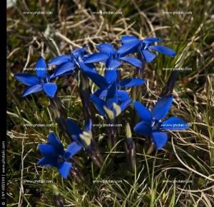 genciana-de-primavera-flora-de-sierra-nevada-granada_455599
