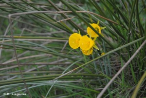 NarcBulb_160326_7814_NarcissusBulbocodium_CoBelalcazar