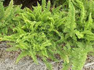 planta-helecho-corditas-helecho-rizado-739201-MLM20288761804_042015-F