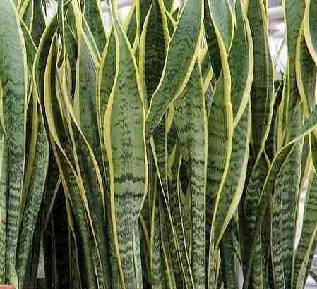 El mundo vegetal y las suegras creciendoentreflores for Plantas de interior lengua de gato