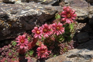 siempreviva-flora-endemica
