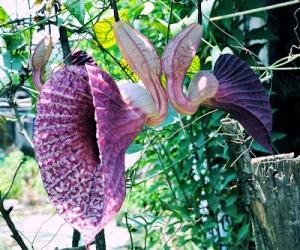 flor-pato-veracruz-mexico-4