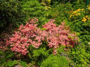 30416027-kolkwitzia-amabilis-es-una-especie-de-planta-de-flores-perteneciente-a-la-familia-caprifoliaceae