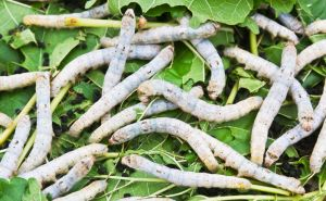 10228637-Silk-worm-eating-mulberry-green-leaf-Stock-Photo